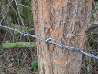 galvanized single barbed fence staples used to fix barbed wire to a tree